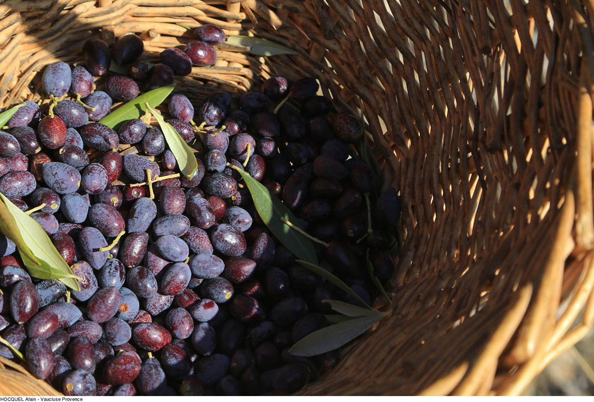 recolte-olives---Photo-Alain-Hocquel-2035.jpg-1600px