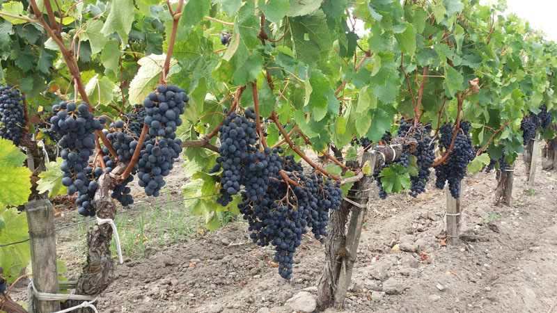 Highlight Raisin noir vignoble ©fisandra